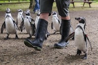 Penguins and wellies, image via Shutterstock