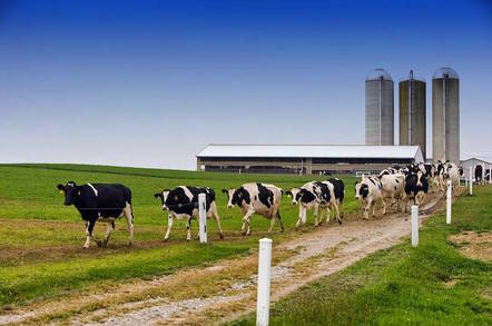 Cows walk on green field in front of silos