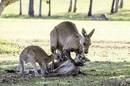 Kangaroos Copyright Evan Switzer
