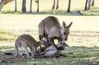 Kangaroos Copyright Evan Switzer