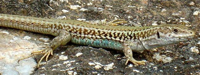 The Aegean Wall Lizard. Pic: Cambridge University