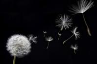 Dandelion, image via Shutterstock