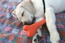 Puppy and bone, image via Shutterstock