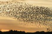 Flock_swarm_of_birds