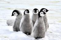 Baby penguins, image via Shutterstock