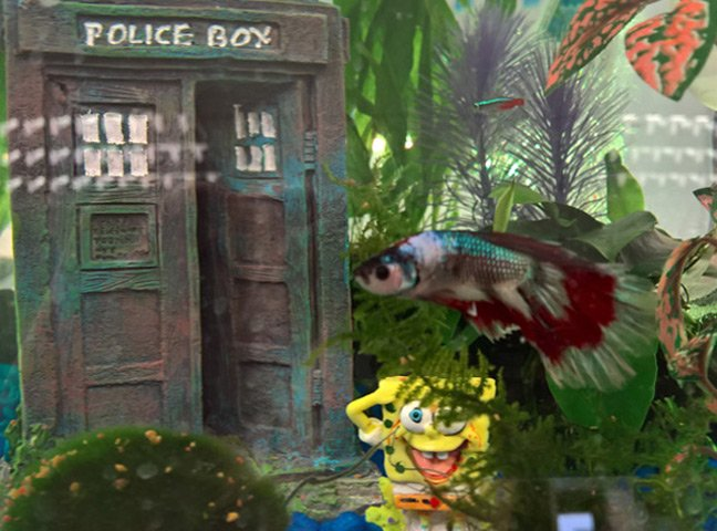 Kylie the fighting fish and a Tardis inside the tank