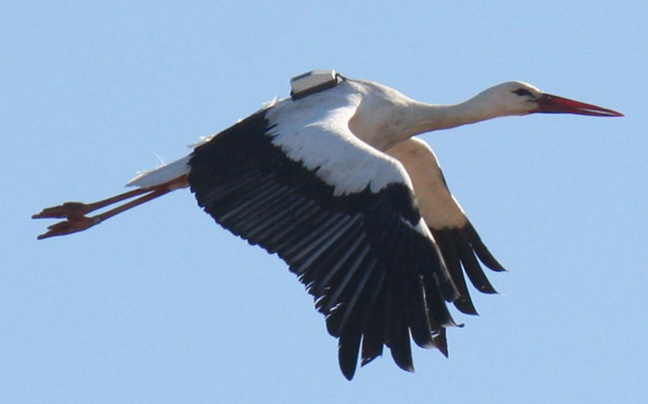 A stork fitted with a GPS tracker. Pic: Aldina Franco