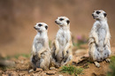 Meerkats, photo via Shutterstock