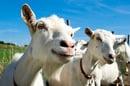 Goats, image via Shutterstock