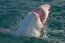 Shark, photo via Shutterstock