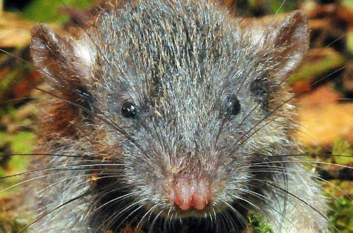 Russia Reports Rat Scurrying Through Govt Systems Chewing