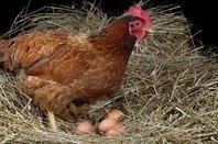 Chicken eggs, photo via Shutterstock