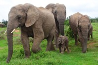 Close up of elephant family, including cute calf. Photo by Shutterstock