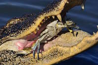 Aligator eating a crab