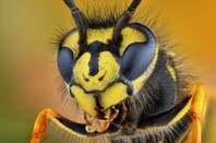 A wasp, from Shutterstock