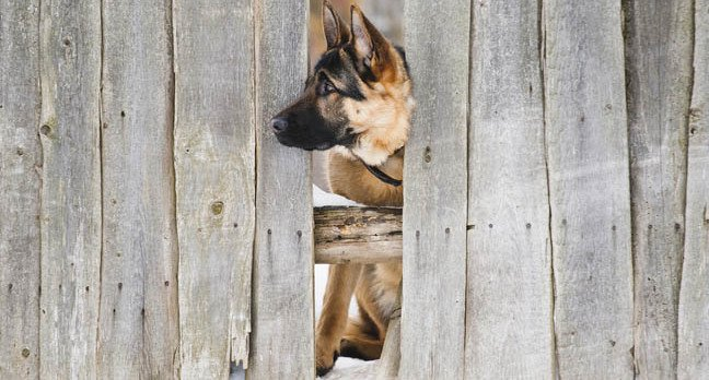 Dog and fence, mage via Shutterstock