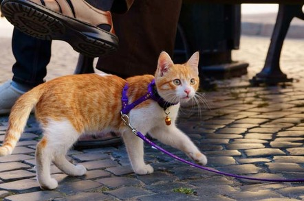 A ginger tabby cat is walked on a leash over cobblestones. Photo by Shutterstock