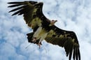 Arthur the vulture. Pic: Birds of Prey Displays