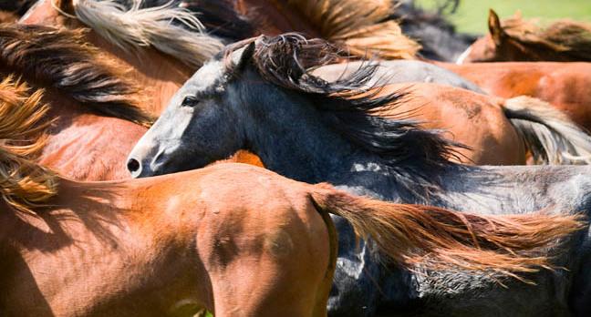 Horses stampede, image via Shutterstock