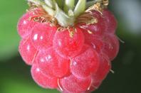 Raspberry, image via Shutterstock