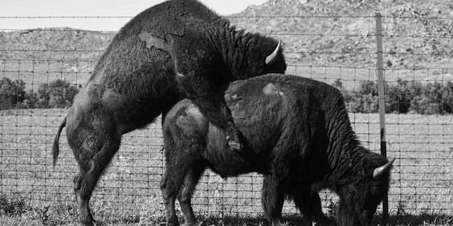 Two buffalos mating in the Oklahoma plains in the springtime