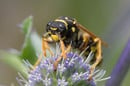 Polistes dominulus, the paper wasp, sits on a purple flower. Photo by Shutterstock