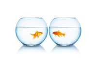 Goldfish, image via shutterstock