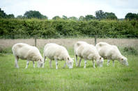 Dolly sheep. Photo courtesy  University of Nottingham