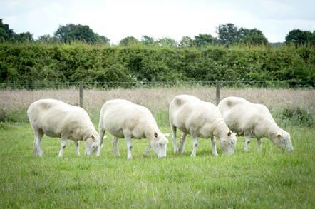Dolly sheep. Photo courtesy  University of Nottingham