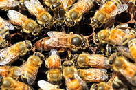 Bees surround queen bee
