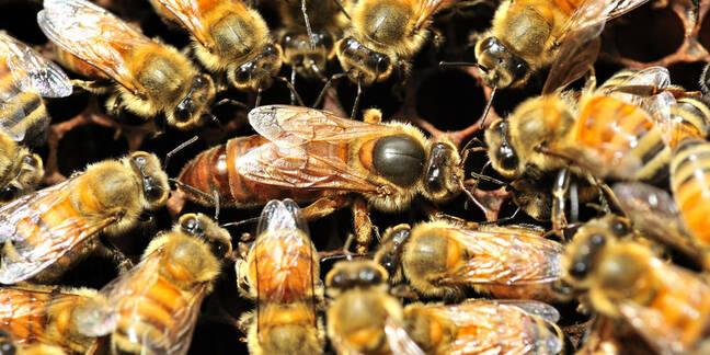 Bees surround queen bee