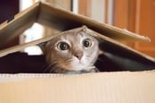 Cat peeks outside cardboard box. Photo by shuttertsock