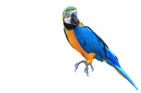 Blue Macaw parrot, aka a Norwegian Blue Pining for the Fjords