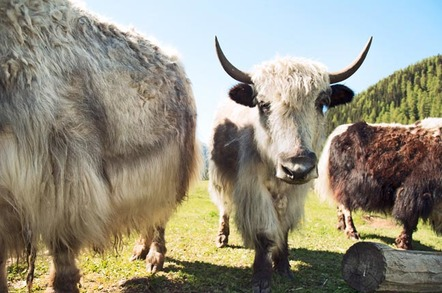yak. pHOTO BY shUTTERSTOCK