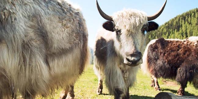 yak. pHOTO BY shUTTERSTOCK