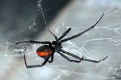 Redback spider. Photo by shutterstock