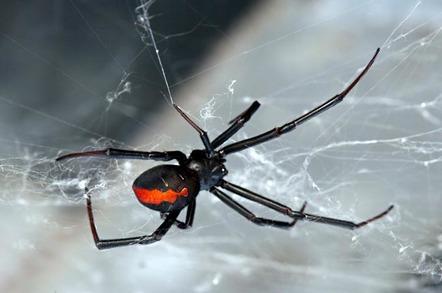 Redback spider. Photo by shutterstock