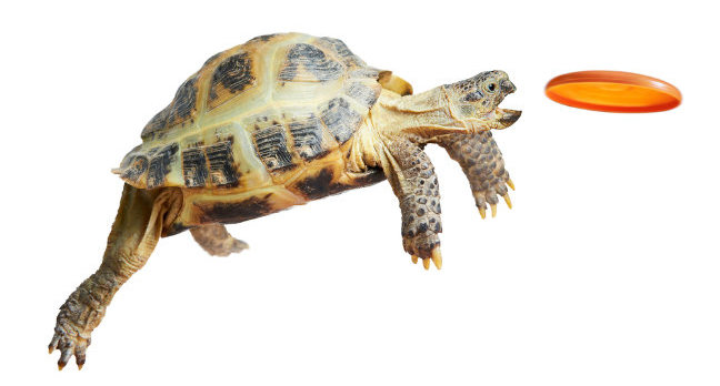 A tortoise catches an orange frisbee. Photo by Shutterstock