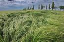 Barley in wind photo via shutterstock