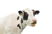 Cow photo via Shutterstock