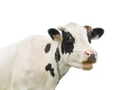 Cow photo via Shutterstock