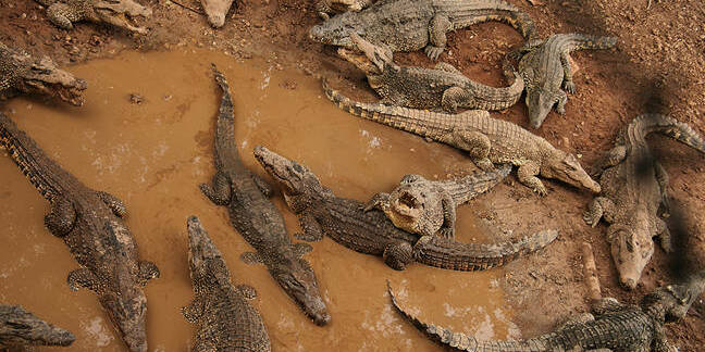 Swamp alligators crowd near muddy water pool. Photo by Shutterstock