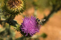 THistle, the national flower of scotland, being bothered by a bee. Photo by Shutterstock