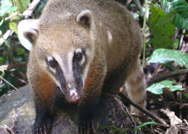 The coati not the Brazilian aardvark photo by Kovags