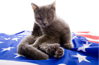 Cat playing on USA flag. Photo by Shutterstock