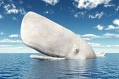 white whale emerges from sea