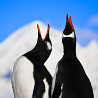 Penguins singing photo via Shutterstock