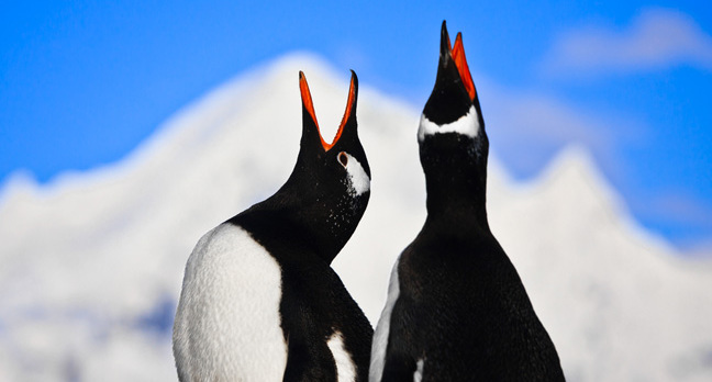 Penguins singing photo via Shutterstock