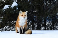 Fox in snow photo via Shutterstock