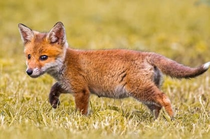 Fox cub photo via Shutterstock